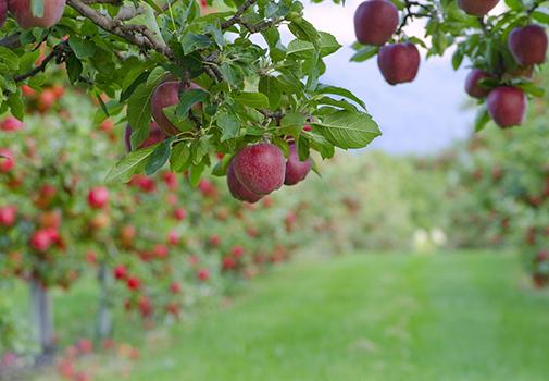 Подкормка яблонь осенью: какими удобрениями подкормить яблоню осенью?
