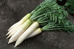 Выращивание редьки, дайкона, репы