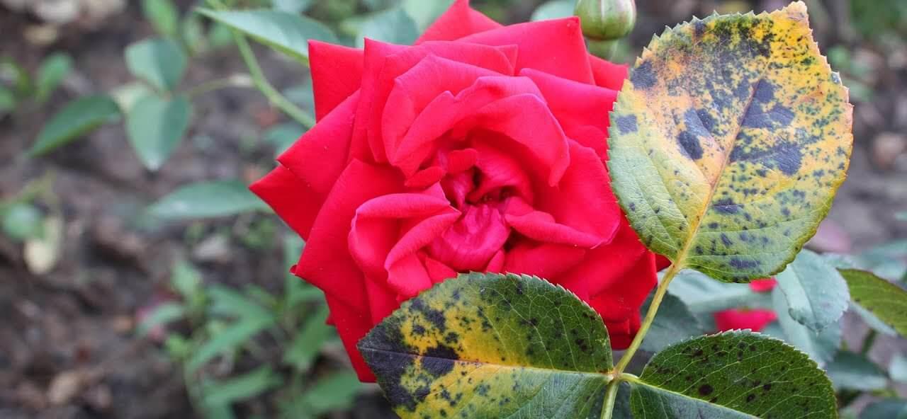 Черная пятнистость роз