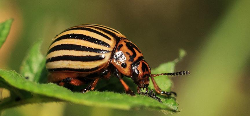 Колорадский жук. Когда и чем обрабатывать?