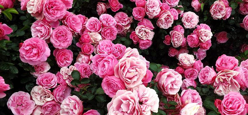 Мучнистая роса роз. Решаем проблему комплексно!
