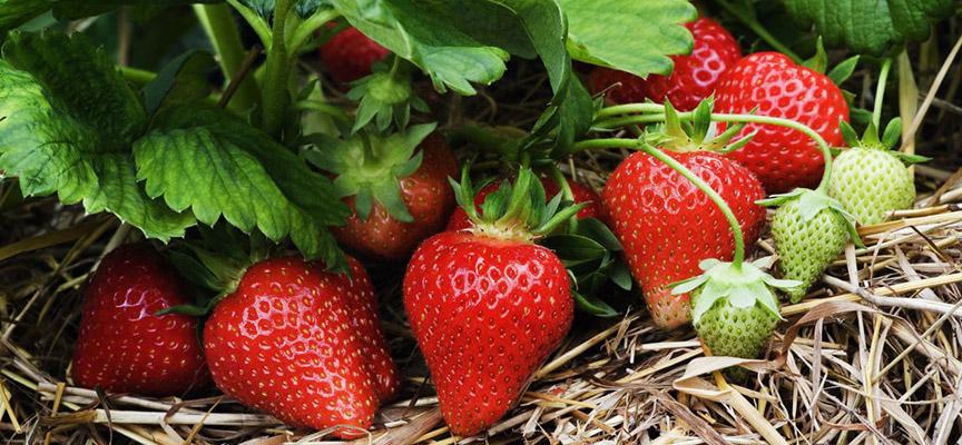 Уход за клубникой после плодоношения (видео)