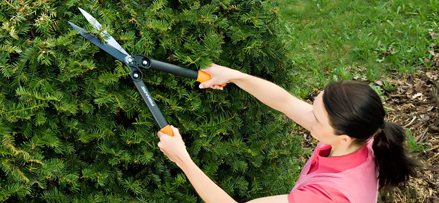 Хитрости обрезки хвойных растений