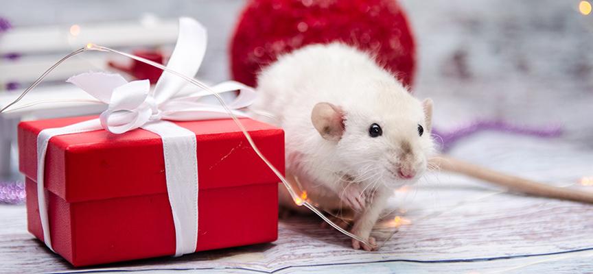 Крыса в доме – рекомендации по уходу за символом 2020 года
