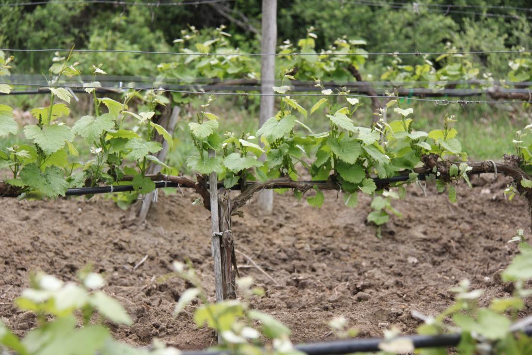 Виноград ася описание сорта фото последнее