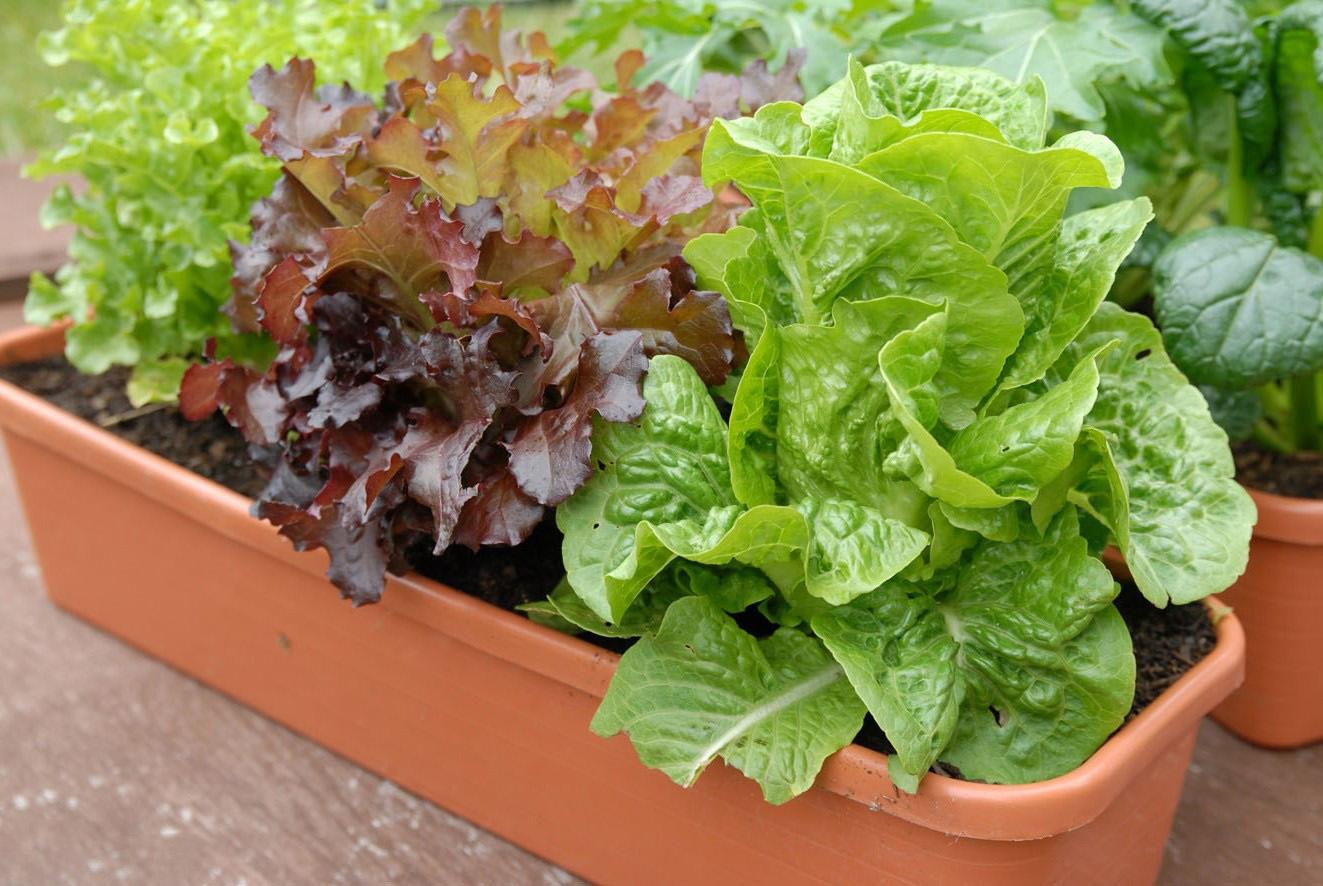 Как выращивать салат в домашних условиях - wikiHow