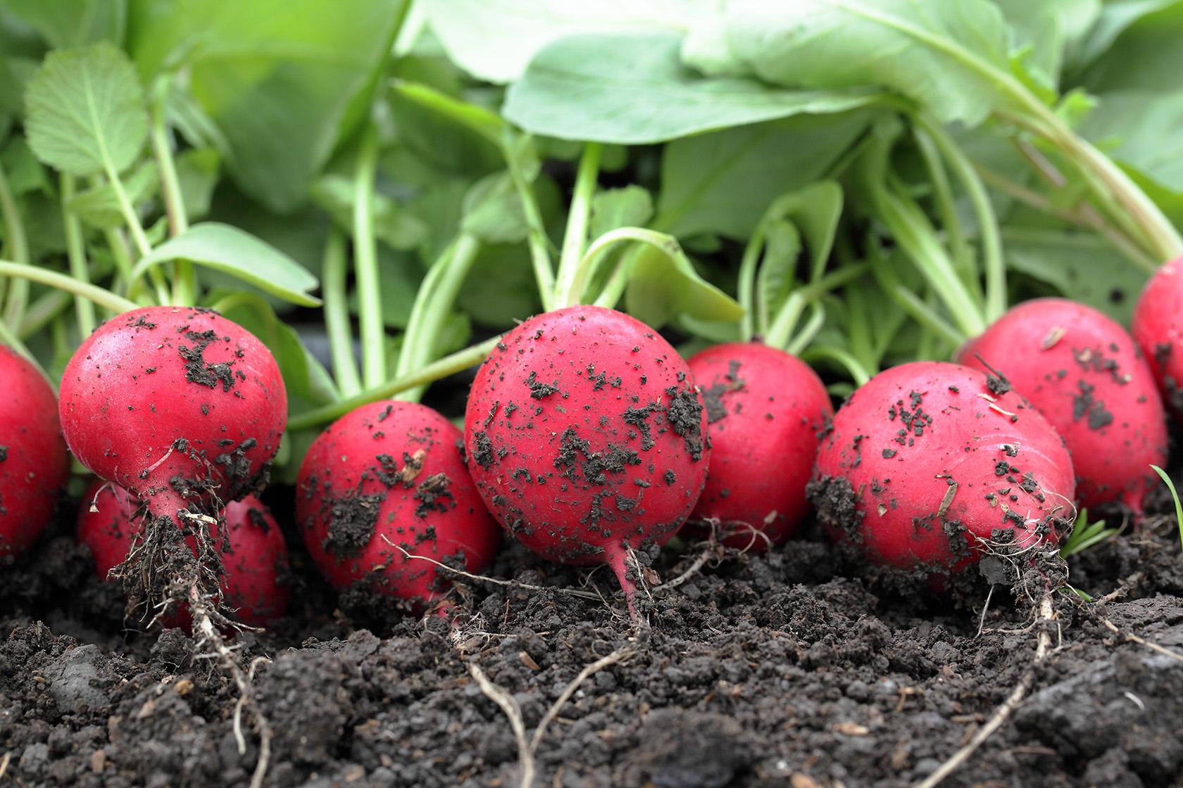 Редис на подоконнике к 8 Марта! — интернет магазин товаров для сада и  огорода ТД Лето 🌿