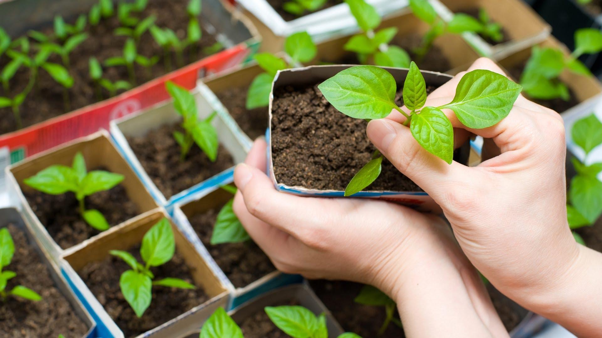 Выращивание перца из семян в домашних условиях пошаговое фото