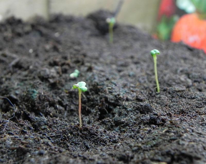 Как вырастить землянику из семян с