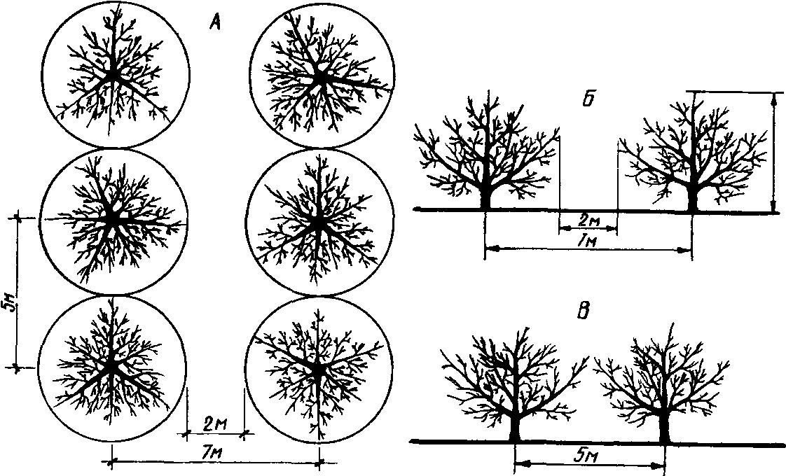 На каком расстоянии от сосны можно сажать плодовые деревья 5