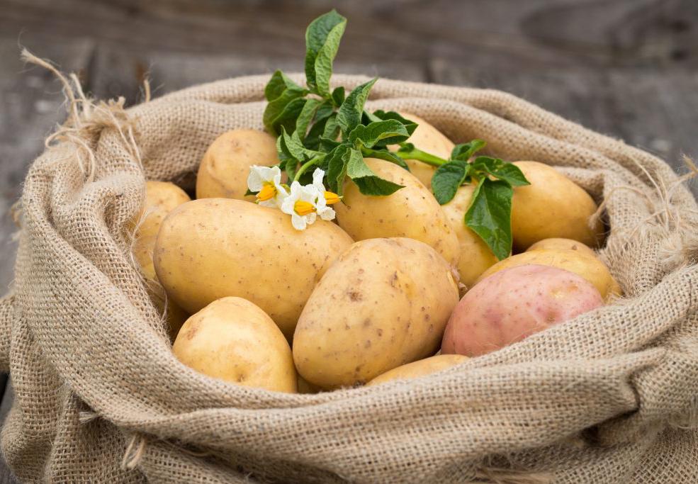 Как получить от картофеля максимальную урожайность?
