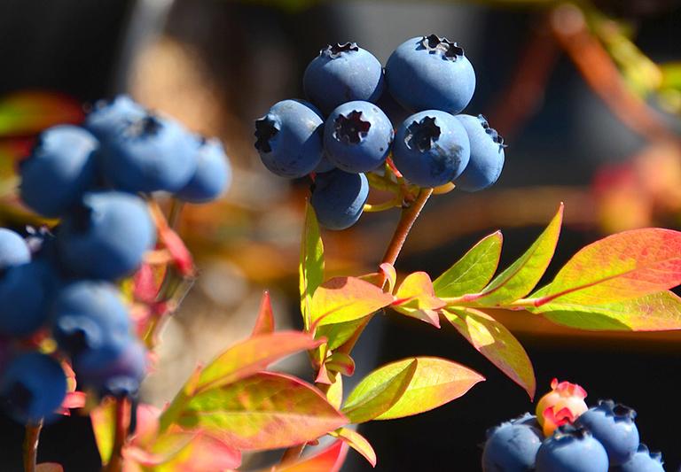 Осенние подкормки голубики. Самое время сделать ягоды сладкими, а зимовку - идеальной
