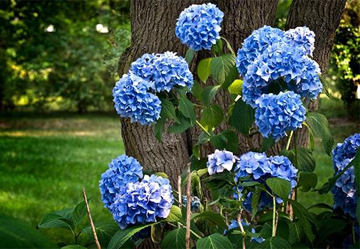 Красим гортензии в синий цвет