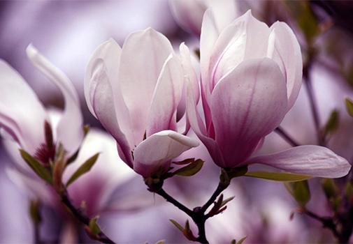 Уход за рододендронами и магнолиями после цветения
