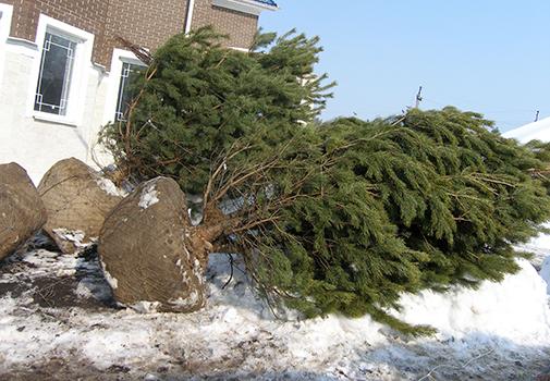 Зимние посадки деревьев. Правила выбора и посадки крупномеров