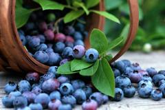 Выращивание голубики садовой: проблемы и их решения
