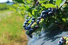 Голубика: сажаем, укореняем, закладываем основы урожая