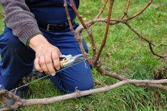 Виноград ранней весной