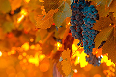 Виноград в конце октября