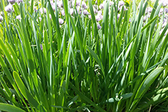 Выгонка зелени многолетних луков