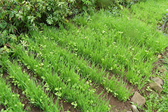 Эффективные смеси сидератов - современные решения проблем почвы