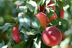 Готовим персик к зиме