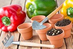 Как быстро прорастить семена перца?
