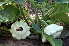 Как подготовить семена патиссонов к посадке?