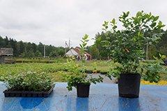 Как размножить голубику садовую?