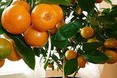 Как вырастить мандарин дома: советы и рекомендации