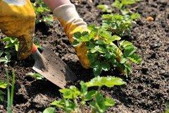 Клубника – от семечка до урожая. Часть 4. Правильная посадка