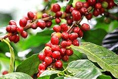 Кофейное дерево в доме. Принеси домой Африку