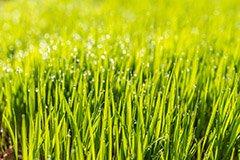 Летний посев газона. Лучшее время сеять травы