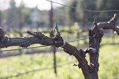 Обрезаем виноград. Лучшие варианты обрезки