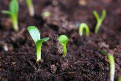 Почему не всходят семена? Кто виноват?