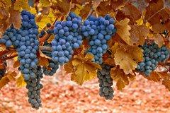 Посадка идеального винограда