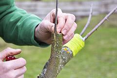 Прививаем без хлопот. Как подготовиться к прививке деревьев весной?