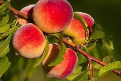 Решаем проблемы персика