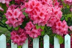 Рододендрон - розовое дерево, жемчужина сада
