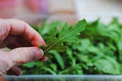 Руккола - особенности выращивания и ухода