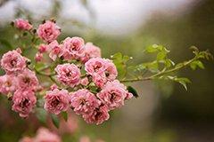 Уход за розами - круглый год. Октябрь и ноябрь