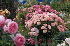 Уход за розами перед цветением. Мучнистая роса (видео)