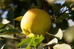 Ускоряем созревание овощей и фруктов