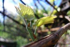 Виноград в апреле
