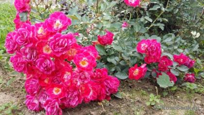 Роза розовая почвопокровная