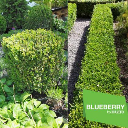 Самшит вечнозеленый квадрат, горшок С15 40-50  фото