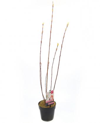Ива цельнолистная Flamingo, горшок P19, 40-50 см фото