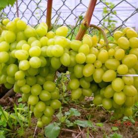 Виноград Аркадия, горшок P11 фото