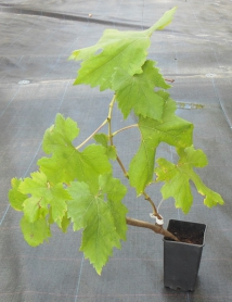 Виноград Бажена, P11 фото