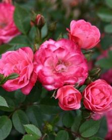 Роза миниатюрная Teeny-Weeny, С2 фото